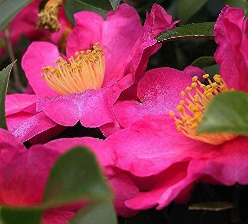 5 Fresh Cuttings of Camellia - Shishi Gashira - Flowering Shrubs