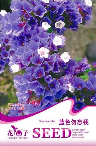 Business sasha Each Pack 30Seed Beautiful and Blue sea Lavender Flower Seeds (3)