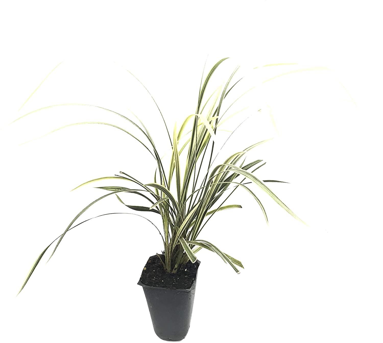 Aztec Grass - 30 Live Plants - Variegated Liriope Ophiopogon Intermedius Argenteomarginatus Evergreen Ground Cover