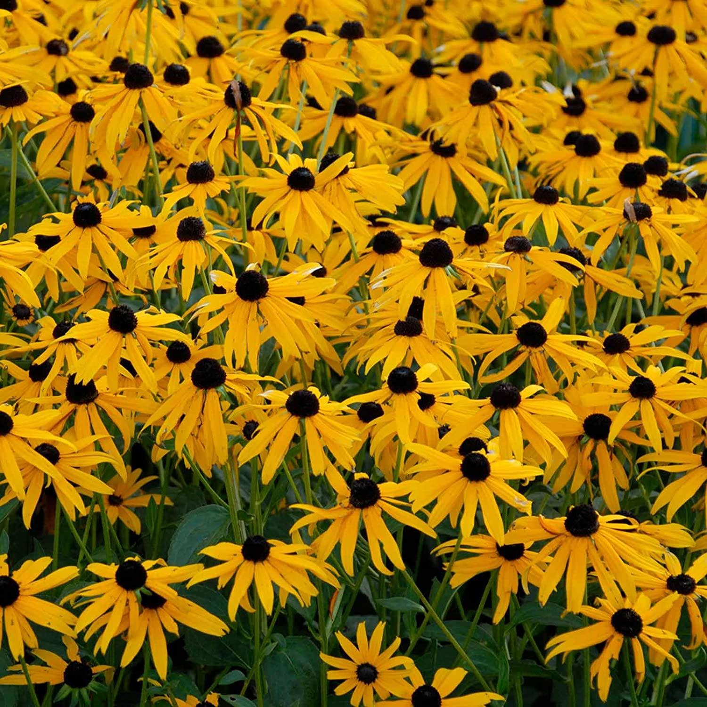 Rudbeckia (Black Eyed Susan) Seeds - Goldsturm Sunset - 500 Seeds - Yellow Blooms - Perennial Black-Eyed Susan Flower Garden Seed