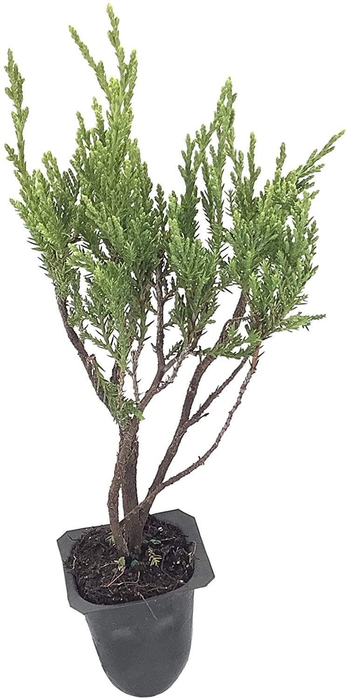 Seaspray Juniper - 60 Live Plants - Drought Tolerant Cold Hardy Evergreen