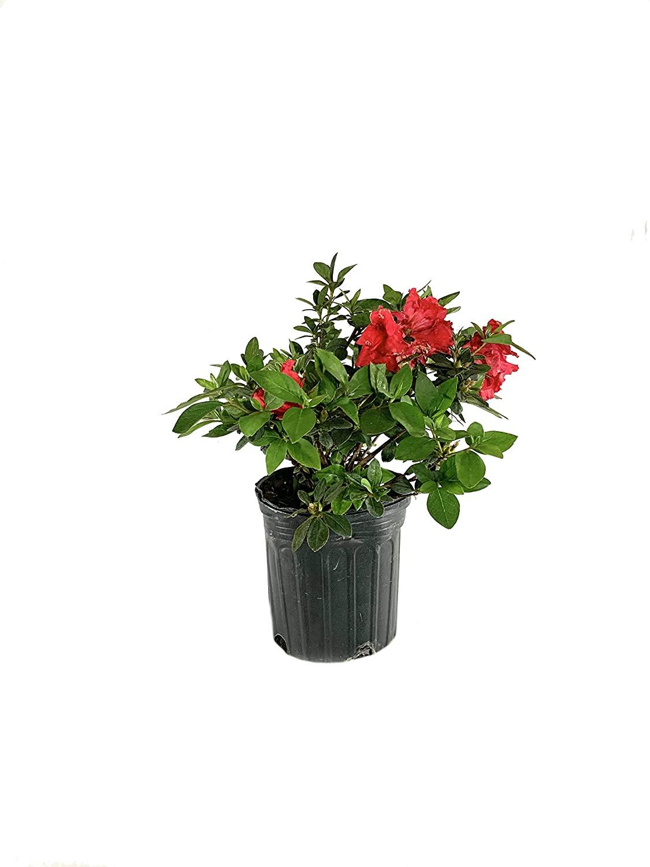 Red Ruffles Azalea - 3 Live Plants in 6 Inch Pots - Azalea Red Ruffles Rhododendron - Flowering Evergreen Shrub