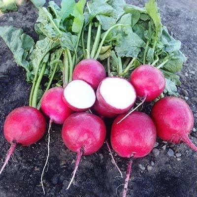 Radish Red Jewel F1 Seeds - Vegetable Seeds Package - 5,000 Seeds