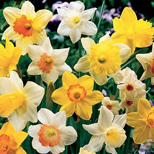 PRE-Order for Fall (ILR) Fall Flowering Mixed (Bulbs) (Mixed Daffodils 250 per Package)
