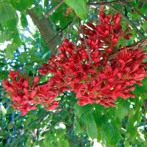 Toyensnow - Schotia Brachypetala - Weeping Boer Bean - Very Rare Tropical Plant Seeds (5 Seeds)