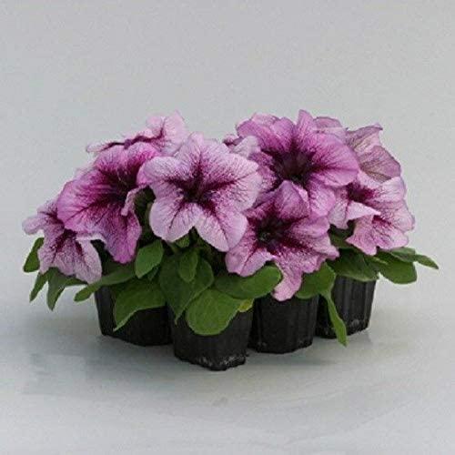 Naturegreen Park - 50 Pelleted Prism Raspberry Sundae Petunia Seeds - Flower Decoration Vegetable Plant Seedling for Your Garden