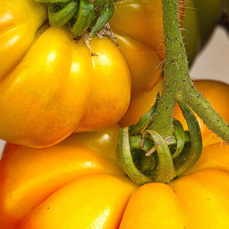 Tomato Garden Seeds - Persimmon - 4 Oz - Non-GMO, Heirloom Vegetable Garden Seeds