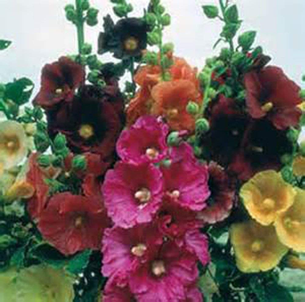 Hollyhock, Pink, RED & Yellow 100 Seeds Organic Heirloom,Beautiful