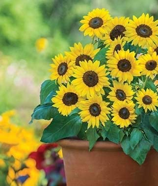 Rare Mini Sunflower Dwarf Plants, Sunray Yellow Hybrid, Easy to Grow, Exotic Flower Seeds Hardy Perennial Garden 10pcs