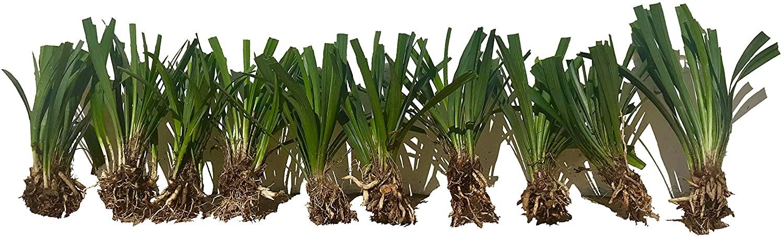 Super Blue Liriope Muscari - 100 Bare Root Plants - Evergreen Ground Cover Grass