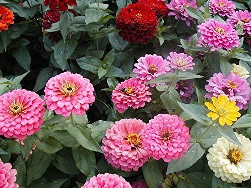 Toyensnow - Zinnia, California Giant, Dahlia Mix (789 Seeds)