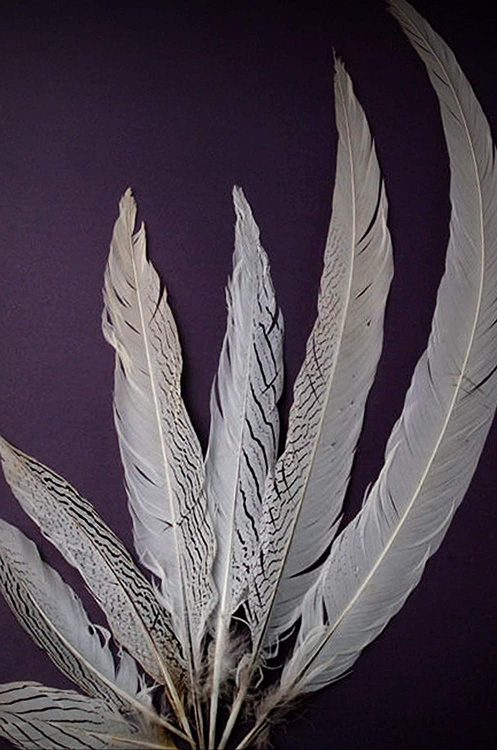 1 Packet of 3 Pcs Silver Pheasant Natural Crafting Feathers 22-24