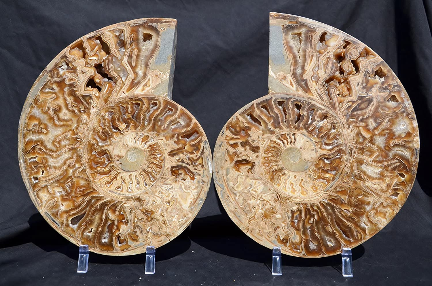 e2011x EXTREMELY Rare New Find MARGARITE Ammonite Dinosaur Fossil Pair Huge Crystals XXXLARGE 12