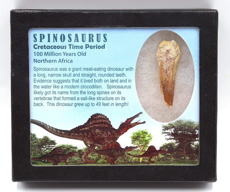 Spinosaurus Dinosaur Tooth Fossil 2.057 inch w/ Info Card MDB #15935 11o