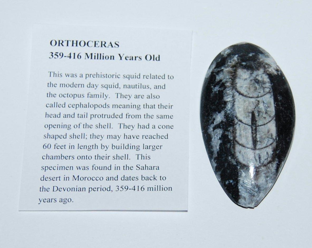 Orthoceras Squid Fossil (Medium) 450 Million Years Old #13409 6o