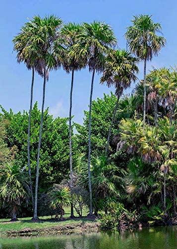 Florida Thatch Palm Thrinax Radiata Organic 10 Fresh Seeds
