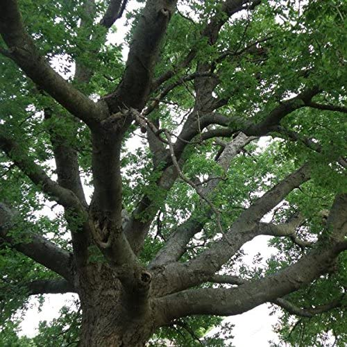 Hackberry Tree Seeds (Celtis occidentalis) 5+ Fresh Large Deciduous Northern Tree Seeds