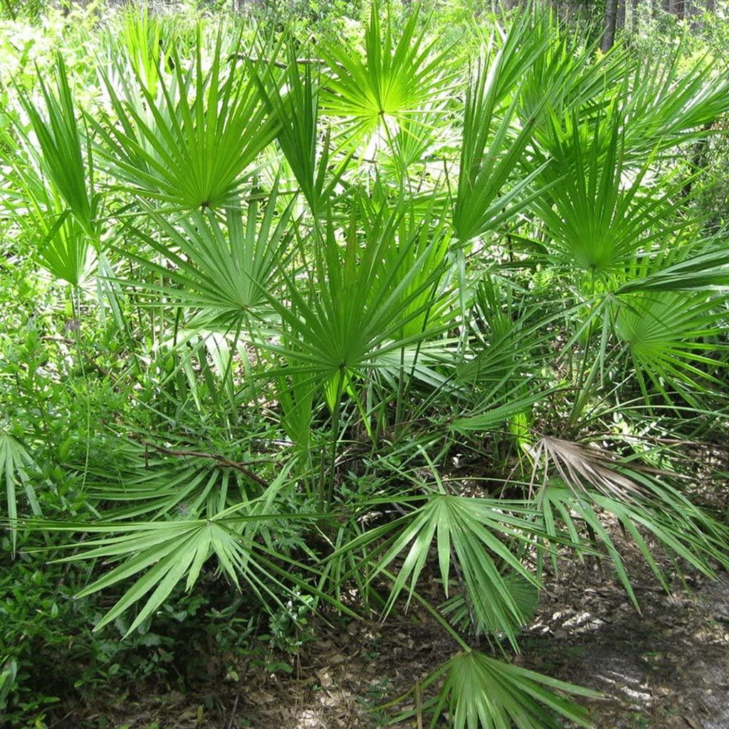 Saw Palmetto Seeds (Serenoa repens) 10+ Rare Medicinal Palm Tree Seeds