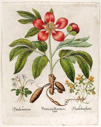 [Pink corallina peony] Pµonia mas flore incarnato; [One-flower shinleaf] Pyrola minima; [Dwarf alpine box] Pseudoschamµbuxus