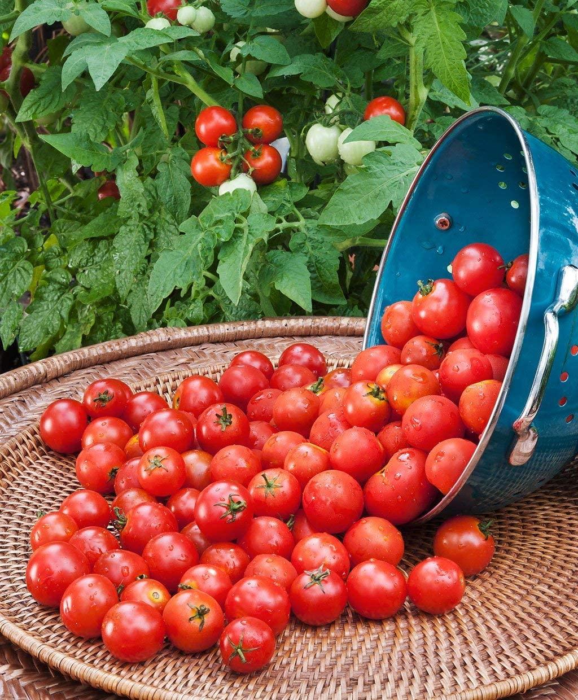 100pcs Rare Husky Cherry Red Tomato Super Sweet Prolific, Organic Vegetable Seeds Exotic Hardy Perennial Garden
