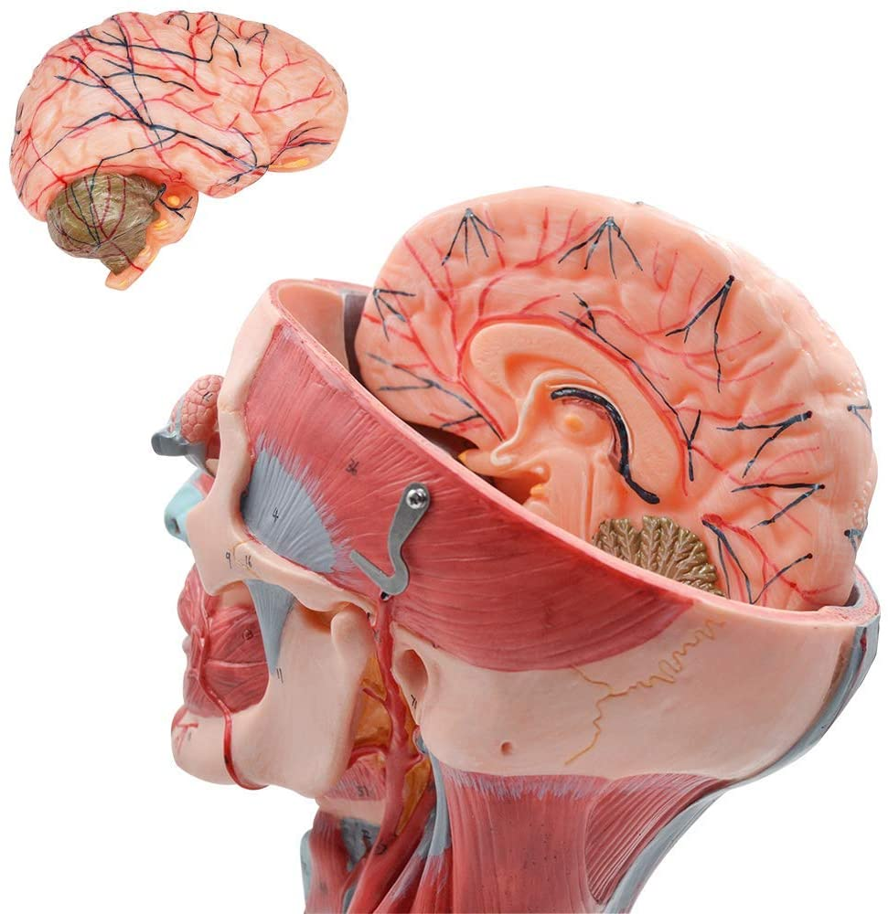Advanced PVC Head and Neck with Muscles and Vessel Brain Anatomical Model