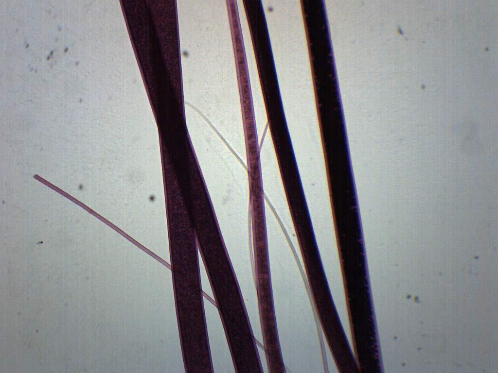 25PK Wool, Wholemount - Prepared Microscope Slides - Classroom Pack, 25 Slides in Storage Case - Biology & Microscopy - Eisco Labs