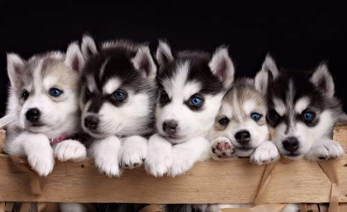ConversationPrints Cute Siberian Husky Puppies Glossy Poster Picture Banner Cool Fun Puppy Dog