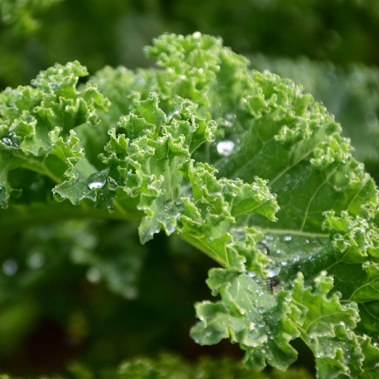 Organic Dwarf Blue Curled Scotch Kale - 500 mg ~125 Seeds - Organic, Heirloom, Open Pollinated, Non-GMO, Farm & Vegetable Gardening & Micro Greens Seeds