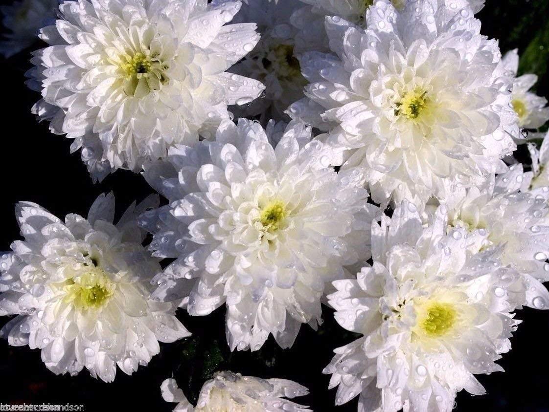 Double Shasta Daisy Seeds Chrysanthemum Fiona Hardy Perennial Flower 100 Seeds