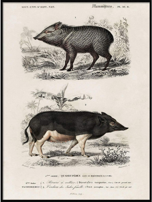 Wild Boar Print, Antique Animal Painting, Vintage Drawing Poster Wall Art Decor, Pecari, Woodland Nursery Art, Zoology Decor | C200 18x24