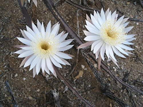Peniocereus Greggii Night Blooming Cereus Stunning White Flowers Rare 5 Seeds