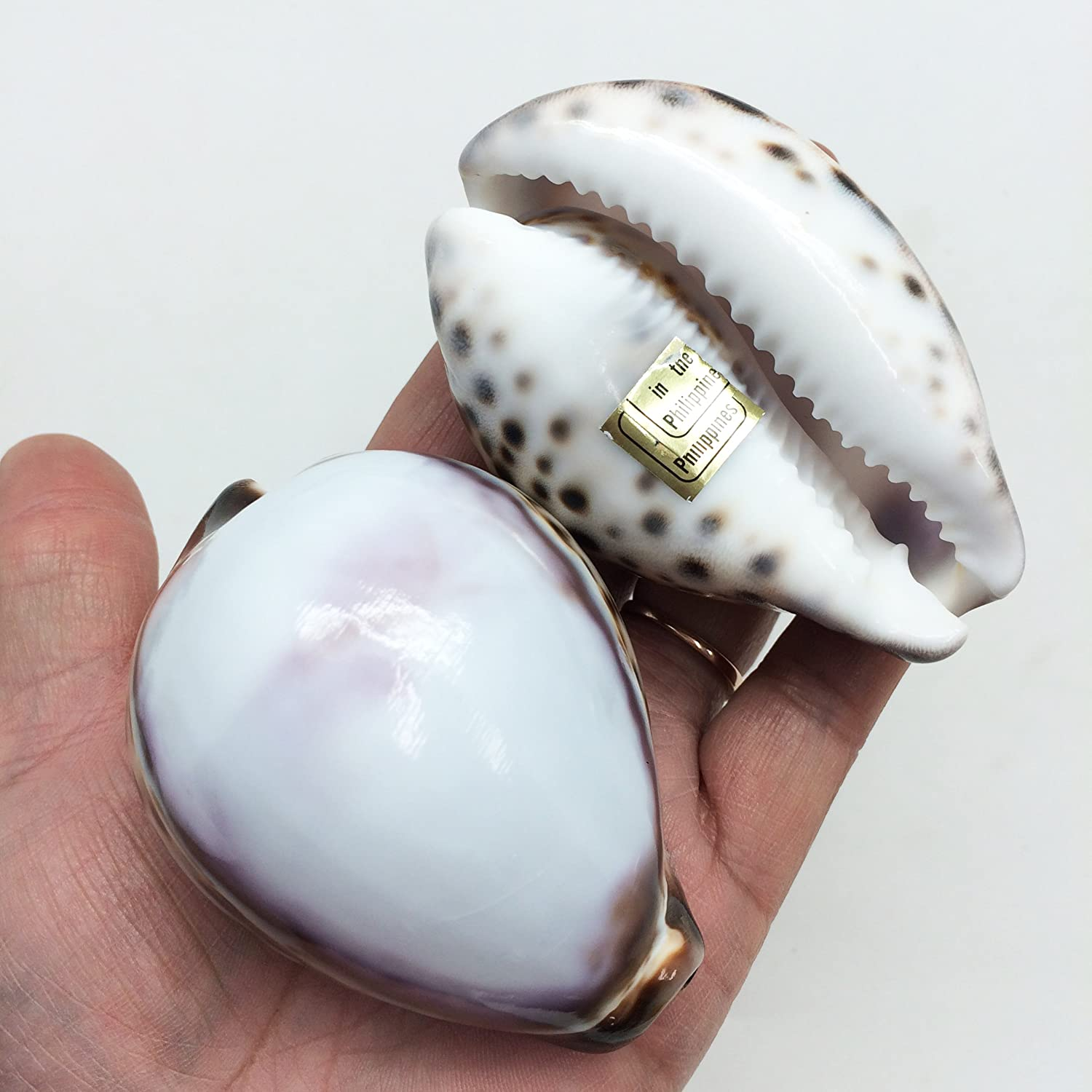 PEPPERLONELY 5PC Polished White Top Tiger Cowrie Sea Shells, Shell Size 3 Inch ~ 3-1/4 Inch