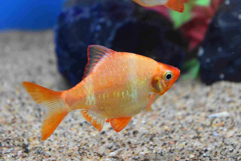 Albino Tiger Barb Regular Live Freshwater Aquarium Fish