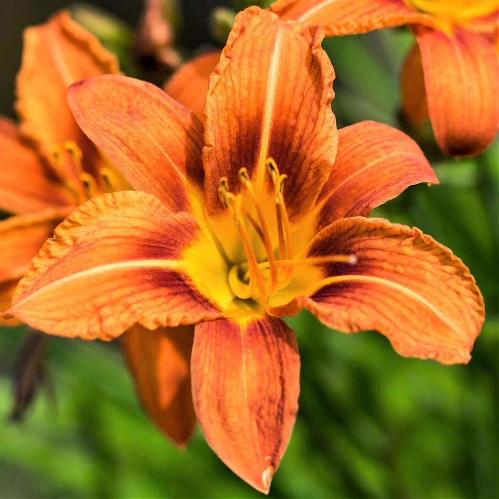 Pink and Orange Daylily Bulbs,Beautiful,Graceful,Flower Clusters,Orange,5 Bulbs
