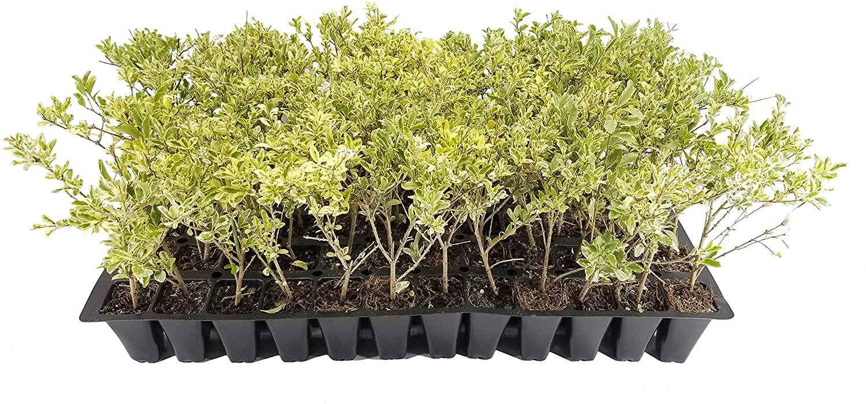Ligustrum Sinense Variegated - 3 Live Plants - Chinense Privet Sinense - Deciduous Flowering Ornamental Shrub