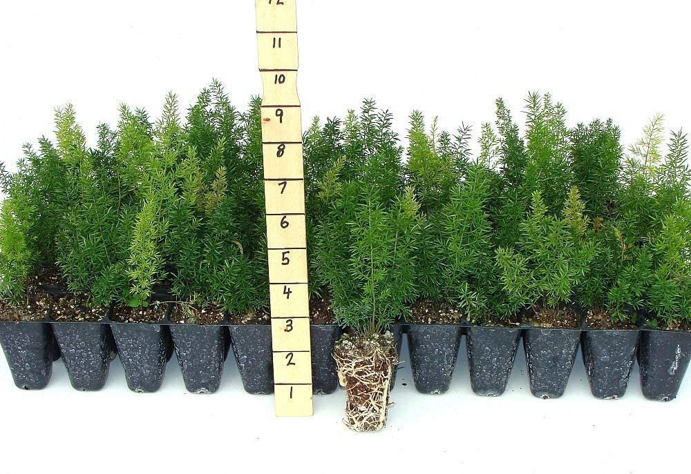 Foxtail Fern - 20 Live Plants - Asparagus Densiflorus 'Myers' - Tropical Groundcover Foliage