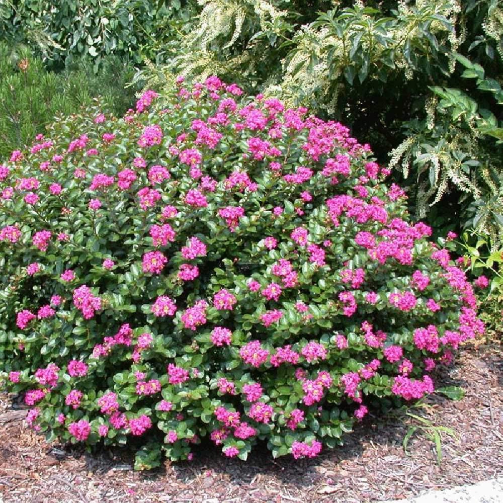 (Liner) 'Pocomoke' Dwarf Crape Myrtle, Purple-Pink Flowers Unique Dwarf Shrub, Also Cold Hardy Crape Myrtle