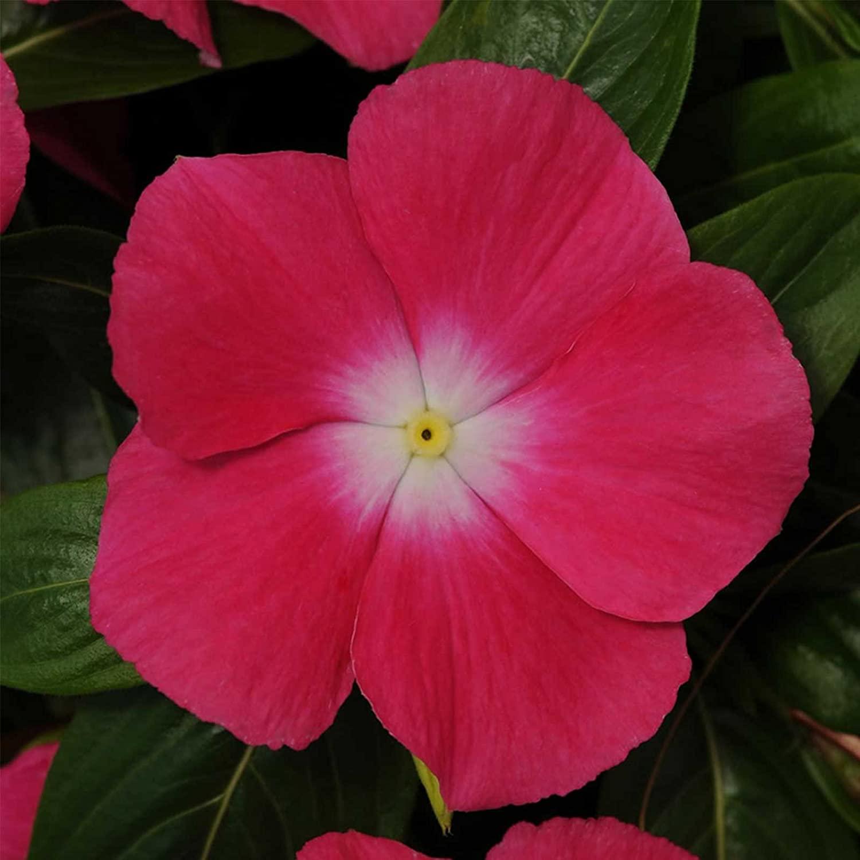 Vinca Flower Garden Seeds - Mediterranean XP Series - Rose Halo - 100 Seeds - Annual Flower Gardening Seed