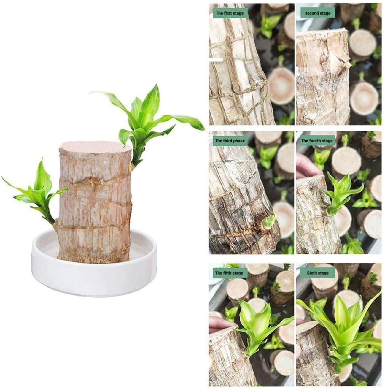 Aderpmin Mini Brazil Lucky Wood - Hydroponic Potted Plant Stump Small Mini Plant Indoor Office Desktop Plant, Plant Lucky Wood Bedroom Four Seasons Potted