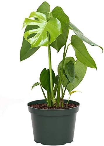 AMERICAN PLANT EXCHANGE Philodendron Monstera Deliciosa Split Leaf Easy Care Live Plant, 6