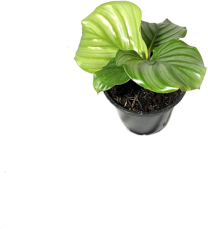 Calathea Orbifolia - 10 Live Plants in 4 Inch Pots - Calathea Orbifolia - Beautiful Easy to Grow Air Purifying Indoor Plant