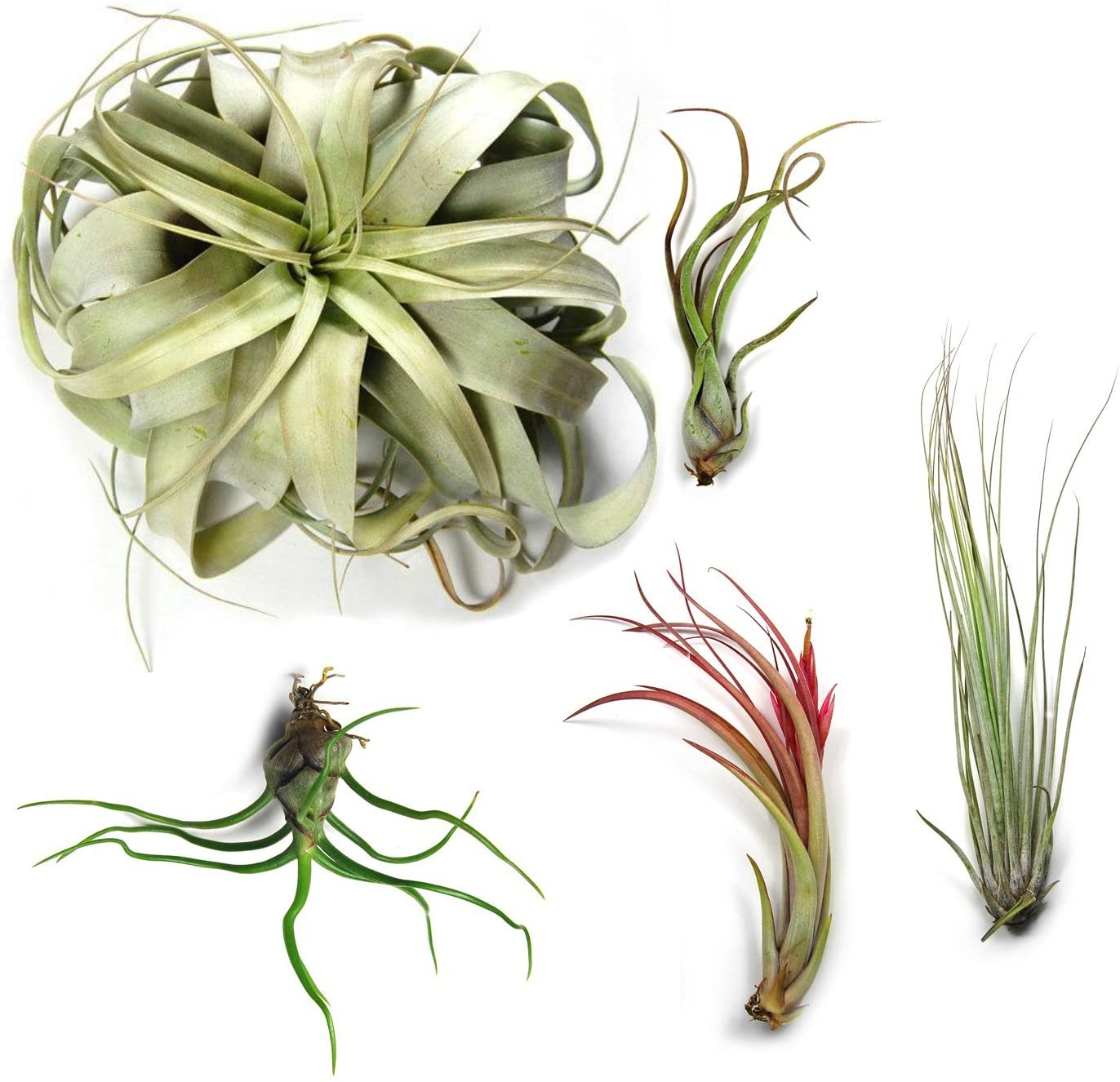 10 Pack Large Tillandsia Air Plants - 2 Xerographica, 2 Juncea, 2 Bulbosa, 2 Caput Medusae & 2 Circinata - 30 Day Guarantee - Succulents - House Plants - Free Air Plant Care eBook by Jody James