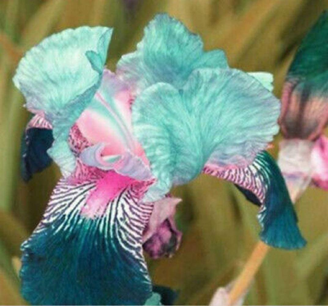 4 Purple Noble Elegant Iris Bulbs Cold Resistant Perennial Easy Planting Home Bonsai