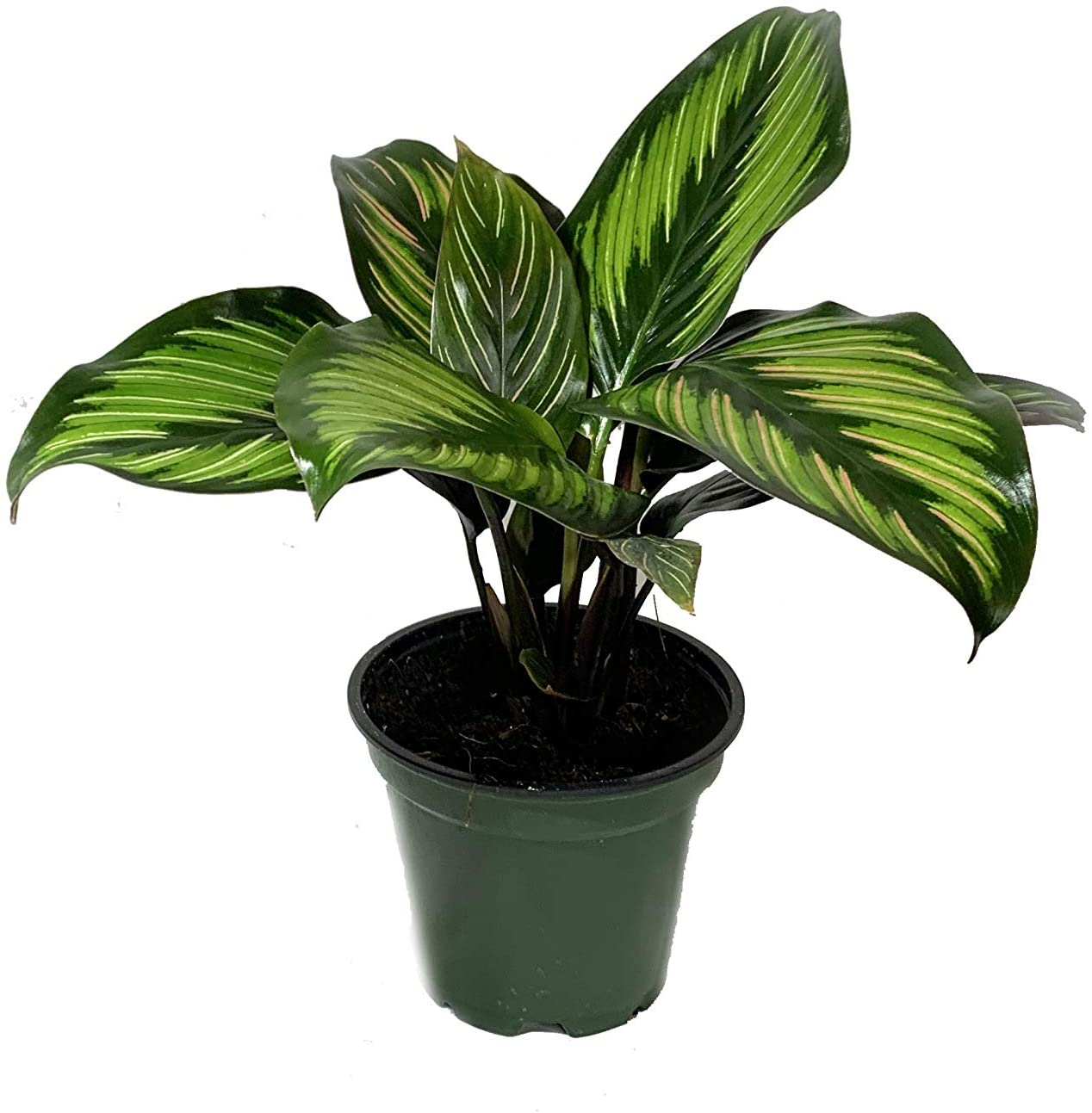 Calathea Beauty Star - 3 Live Plants in 4 Inch Pots - Calathea Ornata Beauty - Beautiful Easy to Grow Air Purifying Indoor Plant