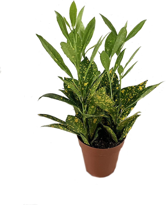 Croton Gold Dust- 3 Live Plants in 4 Inch Pots - Codiaeum Variegatum 'Gold Dust' - Beautiful Easy Care Indoor Houseplant