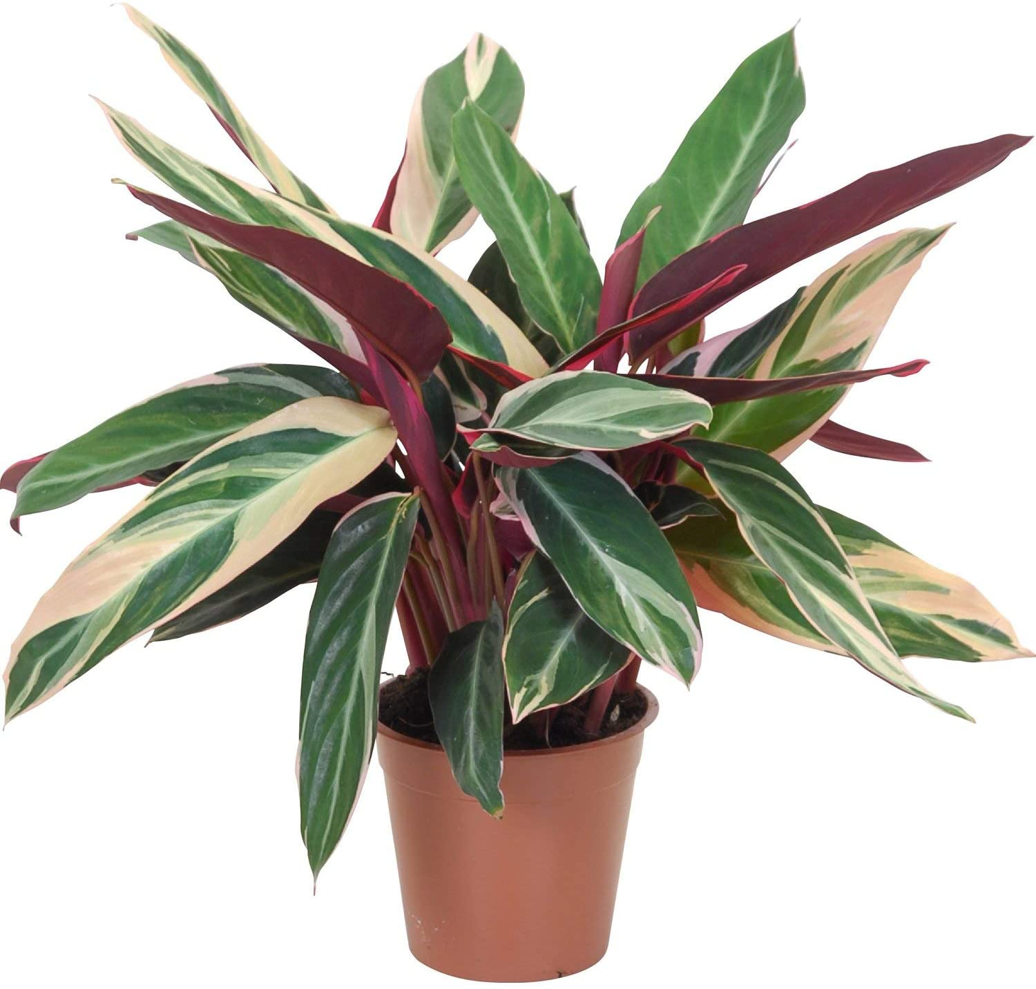 Tricolor Stromanthe Prayer Plant - Live Plant in an 6 Inch Pot - Stromanthe Sanguinea Triostar - Beautiful Easy to Grow Air Purifying Indoor Plant (5 Plants)