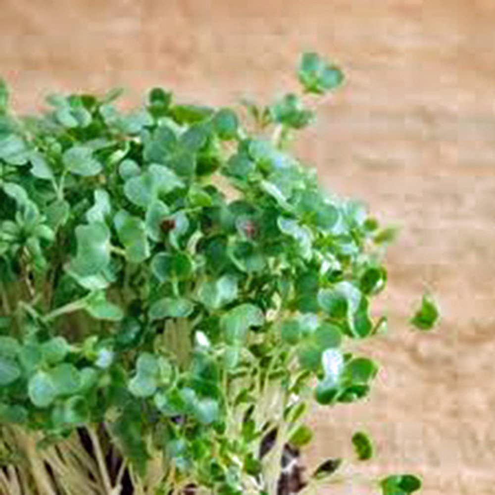 Curled Cress Seed, Sprouts, Heirloom, 25+ Seeds, Broadleaf, Micro Greens, Country Creek Acres