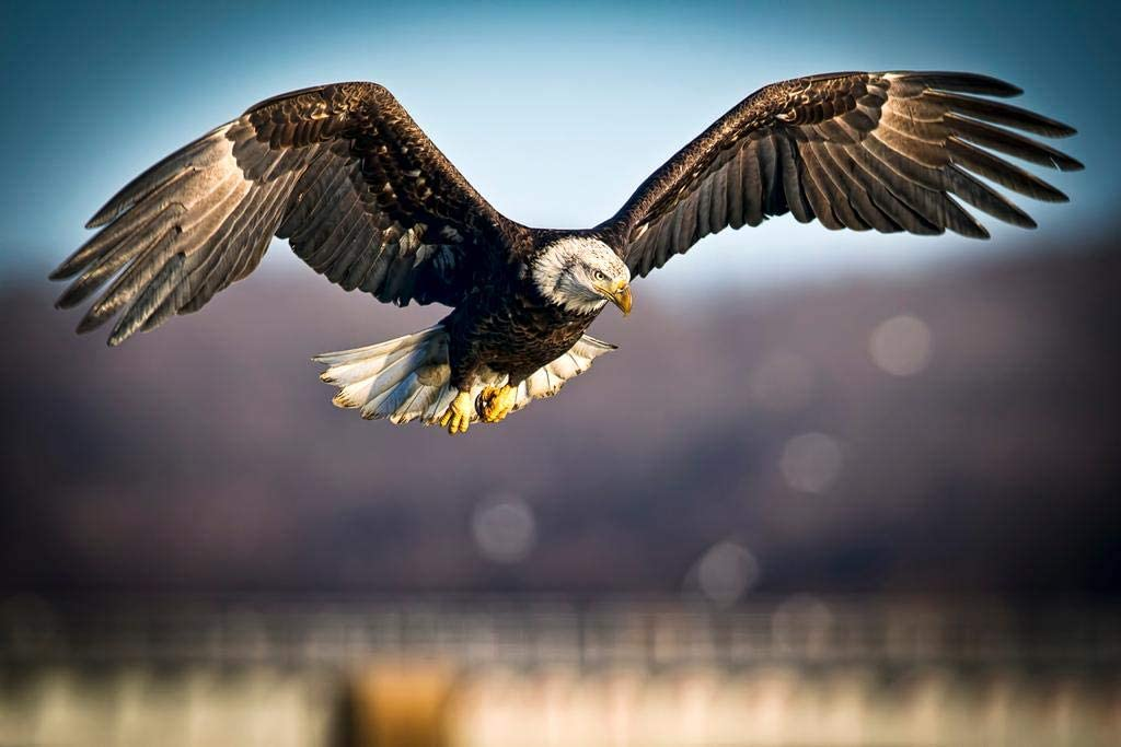 Bald Eagle Bird of Prey Predator Flying Low Over Fields National Symbol of Americas Freedom Independence Liberty Photo Laminated Dry Erase Sign Poster 12x18