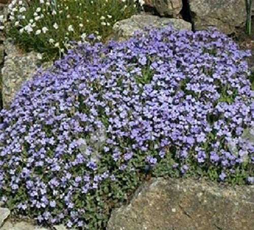 Naturegreen Park - 250 Rock Cress Seeds Aubrieti Pale Blue (Perennial) - Flower Decoration Vegetable Plant Seedling for Your Garden