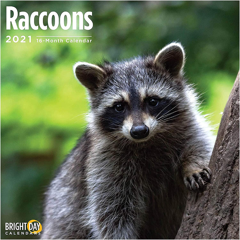 2021 Raccoons Wall Calendar by Bright Day, 12 x 12 Inch, Cute Trash Panda Wild Animal